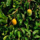 芒果树开花了!(22.08.2021)
